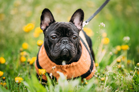 pure bred: Funny Young Black French Bulldog Dog In Green Grass, In Park Outdoor