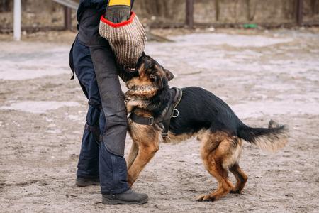 german shepherd dog: German Shepherd Dog Training. Biting Alsatian Wolf Dog.