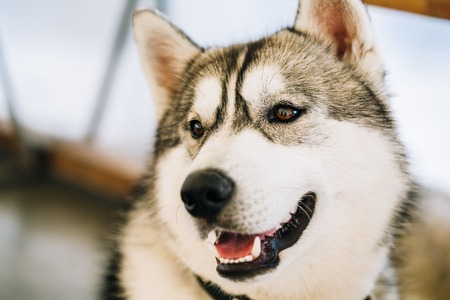 pure bred: Gray Adult Siberian Husky Dog close up portrait. Stock Photo
