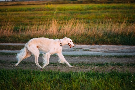 specialize: White Russian Borzoi Gazehound Fast Running In Summer Meadow. These Dogs Specialize In Pursuing Prey, Keeping It In Sight, And Overpowering It By Their Great Speed And Agility