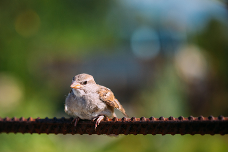 domesticus: Young Bird Nestling House Sparrow Chick Baby Yellow-Beaked Passer Domesticus Sitting On Fence