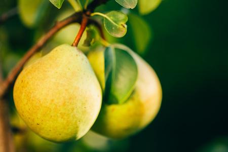 llegar tarde: Peras pera verde fresca en la rama de árbol, Manojo, listo para ser cosechado. El final del verano o principios de otoño la cosecha Foto de archivo