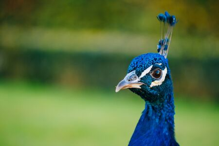 blue peafowl: Close Up Of Indian Peafowl Or Blue Peafowl - Pavo Cristatus, Outdoor