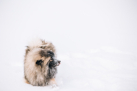 Young Keeshond, Keeshonden Dog Play In Snow, Winter Park Stock Photo
