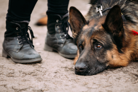 alsatian shepherd: Close Up Sad Brown German Shepherd Dog Lying On Ground Near Woman Feet In Shoes. Alsatian Wolf Dog. Stock Photo