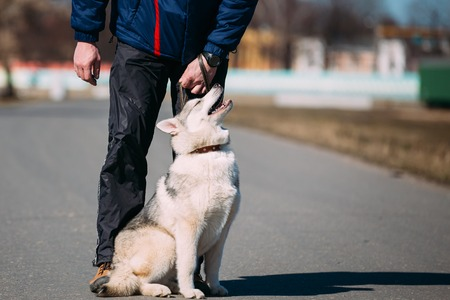 pure bred: Young Funny White And Gray Husky Puppy Dog Sit On Road Outdoor Near Man Stock Photo