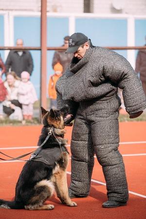 alsatian: Gomel, Belarus - March 12, 2016: German shepherd dog training. Biting dog. Alsatian Wolf Dog. Deutscher, dog