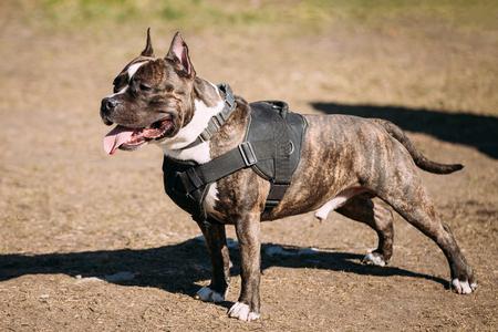 american staffordshire terrier: Dog American Staffordshire Terrier Posing On Obedience Posing Outdoor
