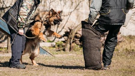 alsatian: German Shepherd Dog Training. Biting Alsatian Wolf Dog.