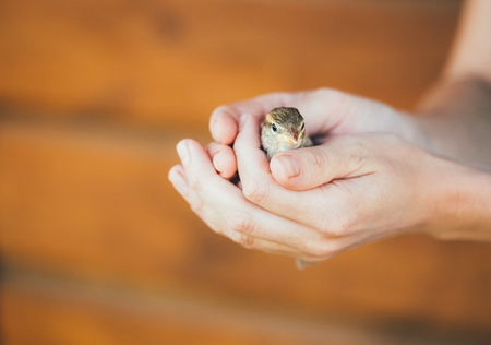 passer by: Young Bird Nestling House Sparrow - Passer Domesticus - Chick Baby Yellow-beaked In Female Hands On Brown Wooden Background Stock Photo