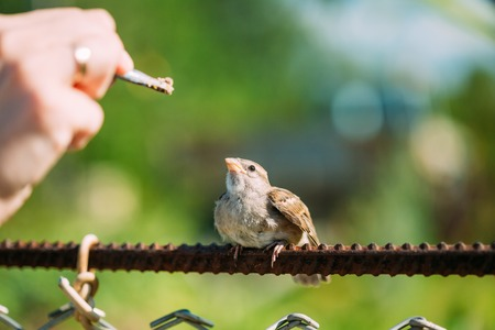 domesticus: Feeding of young chick, Bird House Sparrow Yellow-Beaked Passer Domesticus