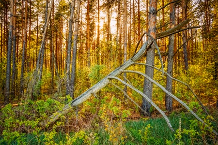storm damage: Windfall In Forest. Storm Damage. Fallen Tree In Coniferous Forest After Strong Hurricane Wind In Russia