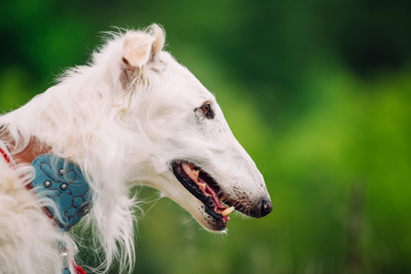 specialize: White Russian Wolfhound Dog, Borzoi, Hunting dog, Sighthound in Spring Summer Forest. These dogs specialize in pursuing prey, keeping it in sight, and overpowering it by their great speed and agility