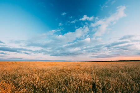 dramatic sky: Rural Countryside Wheat Field. Yellow Barley Field In Summer. Agricultural Season, Harvest Time. Colorful Dramatic Sky At Sunset Sunrise. Stock Photo