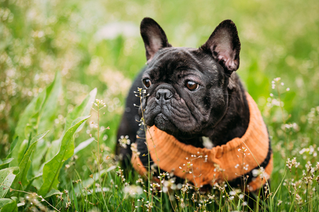 pure bred: Young Black French Bulldog Dog In Green Grass, In Park Outdoor Stock Photo