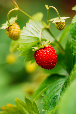 fragaria: Red Fragaria Or Wild Strawberries, Wild Strawberry. Growing Organic Wild Strawberry. Ripe Berry In Fruit Garden. Natural Organic Healthy Food Concept.