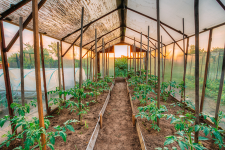 hothouse: Tomatoes Vegetables Growing In Raised Beds In Vegetable Garden And Hothouse Or Greenhouse. Summer Season Stock Photo