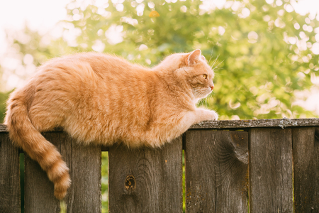 red cat: Funny Fat Red Cat Sitting On Fence In Summer Sunny Day. Stock Photo