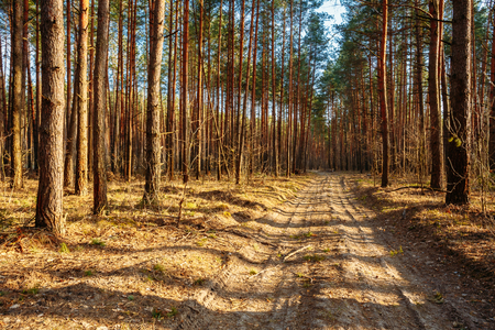 road and path through: Sandy countryside road, path, walkway through forest. Sunset Sunrise In Autumn Coniferous Forest Trees. Nature Woods.