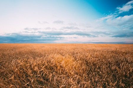dramatic sky: Rural Wheat Field. Yellow Barley Field In Summer. Agricultural Season, Harvest Time. Colorful Dramatic Sky At Sunset Sunrise.