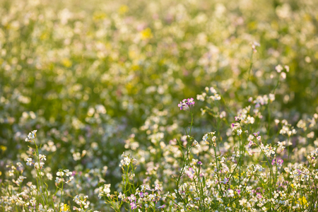 jointed: Green Field With Flowering Wild Radish Or Jointed Charlock Or Cultivated Radish. Early Summer. Agricultural Background. Raphanus Sativus