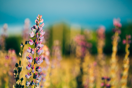 fabaceae: Wild Flowers Lupine In Summer Field Meadow At Sunset Sunrise. Close Up. Copyspace. Lupinus, Commonly Known As Lupin Or Lupine, Is A Genus Of Flowering Plants In The Legume Family, Fabaceae. Stock Photo