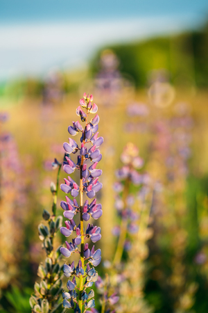 fabaceae: Wild Flowers Lupine In Summer Field Meadow At Sunset Sunrise. Close Up. Lupinus, Commonly Known As Lupin Or Lupine, Is A Genus Of Flowering Plants In The Legume Family, Fabaceae. Stock Photo