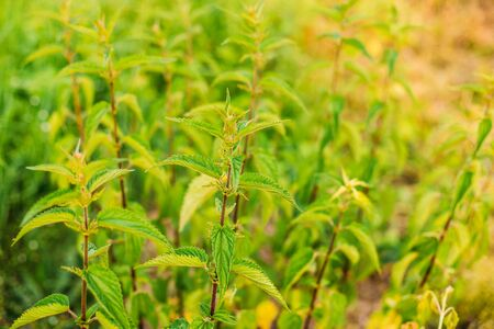 urtica dioica: The Twigs Of Wild Plant Nettle Or Stinging Nettle Or Urtica Dioica In Summer Spring Meadow Field At Sunset Sunrise. Close Up. Stock Photo