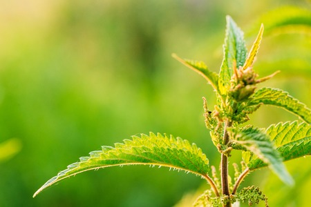 stinging  nettle: The Twig Of Wild Plant Nettle Or Stinging Nettle Or Urtica Dioica In Summer Spring Field At Sunset Sunrise. Close Up, Detail, At Green Background, Copyspace. Stock Photo