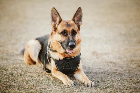 perro policia: Marrón del perro pastor alemán Sentado en el suelo. Perro guardián, perro de policía Foto de archivo
