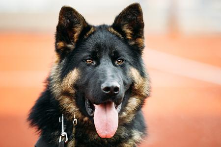 alsatian: Close Up Young Puppy Black German Shepherd Dog, Alsatian Wolf Dog