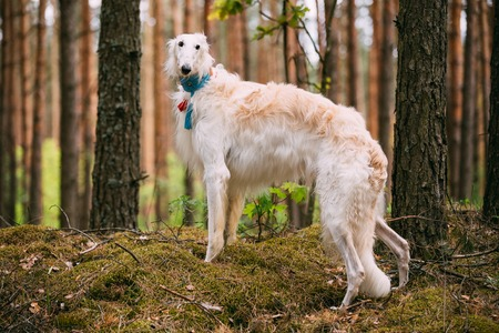 specialize: White Russian Dog, Borzoi, Hunting Dog In Spring Summer Forest. These Dogs Specialize In Pursuing Prey, Keeping It In Sight, And Overpowering It By Their Great Speed And Agility
