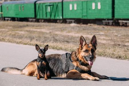 alsatian: Brown German Sheepdog Alsatian Wolf Dog And Black Miniature Pinscher Pincher Sitting Together On Road Stock Photo