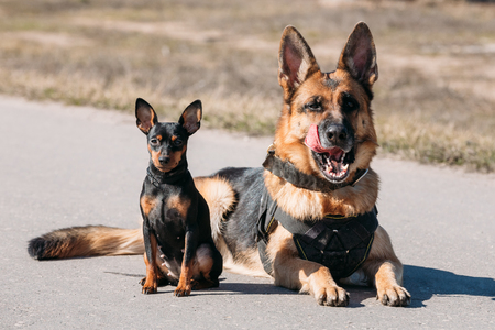 Brown German Sheepdog Alsatian Wolf Dog And Black Miniature Pinscher Pincher Sitting Together On Road Stock Photo