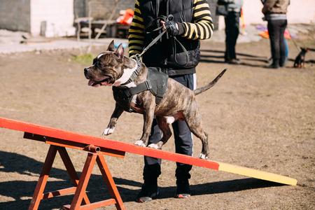 american staffordshire terrier: Dog American Staffordshire Terrier On Training Outdoor.