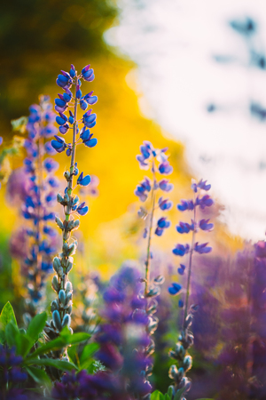 fabaceae: The Overblown Wild Flowers Lupine In Summer Field Meadow At Sunset Sunrise. Close Up. Copyspace. Lupinus, Lupin Or Lupine, Is A Genus Of Flowering Plants In The Legume Family, Fabaceae. Stock Photo