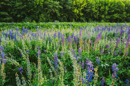 fabaceae: The Glade Of Wild Blossom Flowers Lupine In Summer Spring Meadow Field In Sunset Sunrise. Greenwood Background. Lupinus, Lupin Or Lupine, Is A Genus Of Flowering Plants In The Legume Family, Fabaceae.