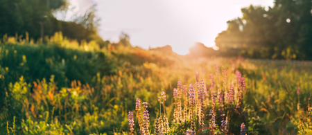 Panoramic View Of The Bloomy Glade Of Wild Flowers Lupine On Summer Spring Meadow Field In Sunlight Of Sunset Sunrise. Lupinus, Lupin, Lupine, Is Genus Of Flowering Plants In Legume Family, Fabaceae. Copyspace.