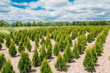 sandy soil: The Summer Spring Plantation Of Thuja Or Thuya Seedlings, Planted Rows On Sandy Soil. Coniferous Small Bushes. The Forest Background.
