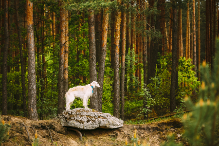 hunting dog: White Russian Borzoi, Hunting Dog standing on rock in forest.