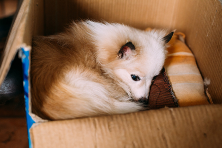 underlay: The Small Size Mongrel Mixed Breed Long-Haired White And Red Adult Dog With Prick-Ears Lying Curled Up On Underlay In Cardboard Box