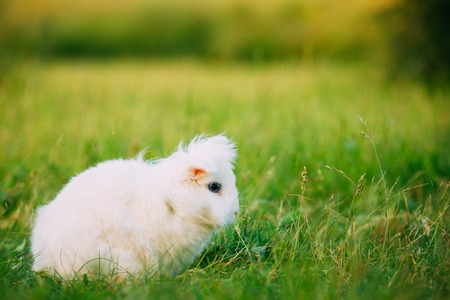 leporidae: Cute Dwarf Lop-Eared Decorative Miniature Snow-White Fluffy Rabbit Bunny Mixed Breed With Blue Eyes Sitting In Bright Green Grass Of Garden, Copyspace Background.