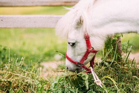 bridle: Nice White Pony Is Eating Hay, Grass. Close Up Side View Of The Head, Muzzle Of Nag In Red Bridle.