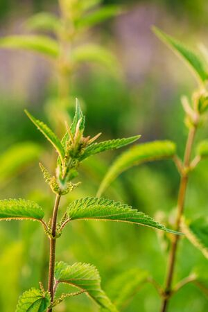 urtica dioica: The Twig Of Wild Plant Nettle Or Stinging Nettle Or Urtica Dioica In Summer Spring Field At Sunset Sunrise. Close Up, Detail, At Green Background Stock Photo