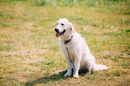 newfoundland: The White Labrador Retriever Adult Dog Or St. Johns Dog, St. Johns Water Dog With Ajar Jaws, Tongue Sitting On Trimmed Sunny Lawn. Copyspace Background. Stock Photo