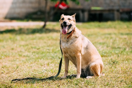 jaws: Medium Size Mongrel Mixed Breed Short-Haired Yellow Golden Adult Female Dog With Opened Jaws, Tongue In Collar Sitting On Trimmed Sunny Lawn.