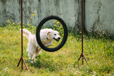 The Trained White Yellow Labrador Retriever Dog Jumping Through Suspended Tire Tyre Hoop On Green Grass Of The Court. Imagens