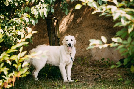 newfoundland: Yellow Golden Labrador Retriever Dog With Half Open Jaws Mouth, Tongue Standing Full-Length Against The Wall. Stock Photo