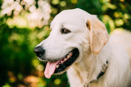The Portrait Of Staring Head Muzzle In Profile Of Yellow Golden Labrador Retriever  Dog Or St. Johns Water Dog With Ajar Jaws, Tongue.  Boke Bokeh Green Nature Background.