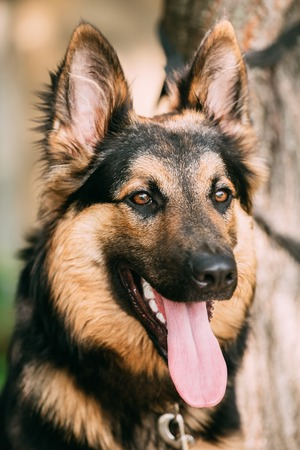 medium size: The Portrait Of Gazing Medium Size Mongrel Mixed Breed Long-Haired Black And Red Adult Dog With Prick-Ears, Opened Jaws, Tongue, Teeth.
